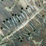 как выглядят червоточины древесины