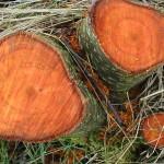 Основные свойства древесины ольхи и ее разновидности
