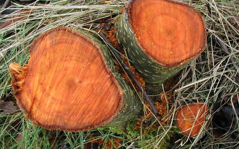 как выглядит древесина ольхи