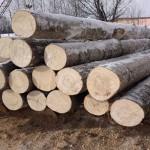 Древесина осины и ее свойства
