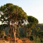 как выглядит ливанский кедр