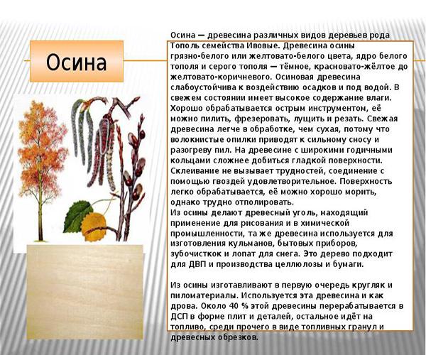 описание дерева осины