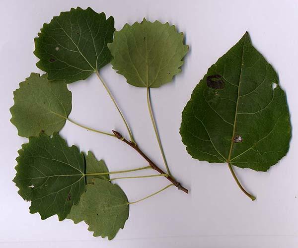 отличия листьев осины и тополя
