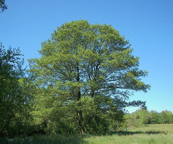 так выглядит дерево ольхи