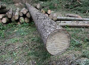 древесина сосны на срезе