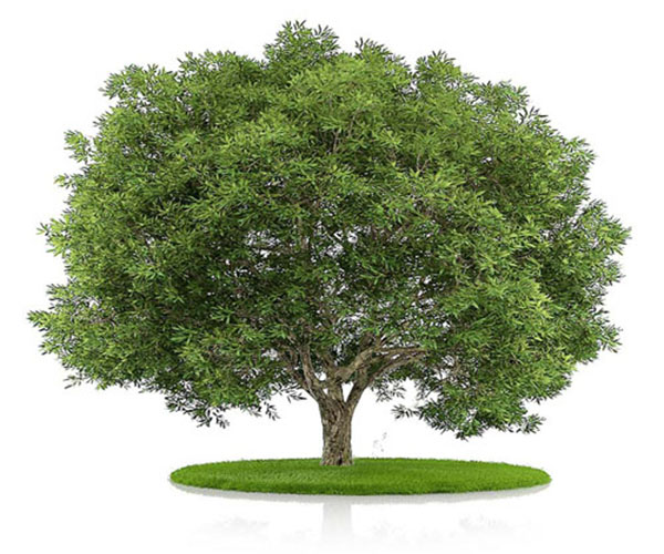 как выглядит дерево бука