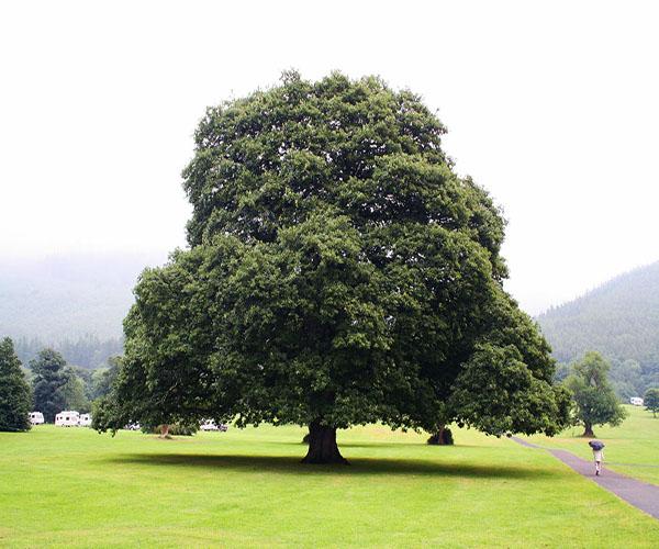 как выглядит дерево дуба