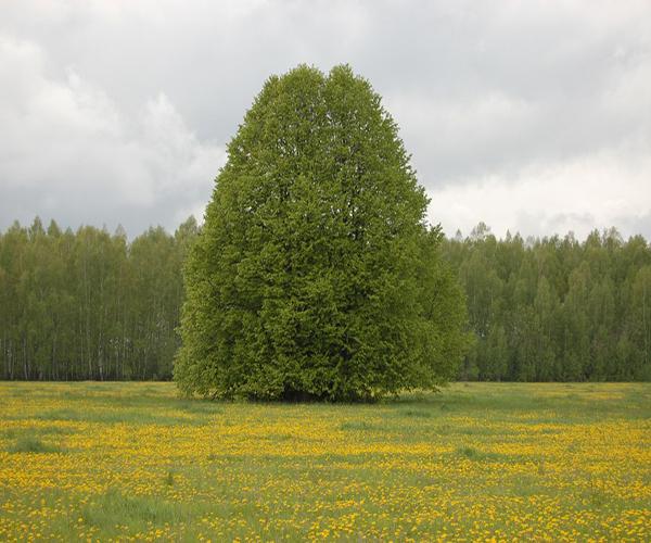 как выглядит дерево липы