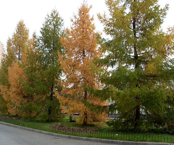 как выглядит дерево лиственницы