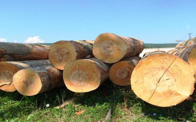 как выглядит древесина бука