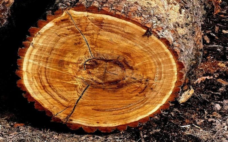 как выглядит древесина дуба