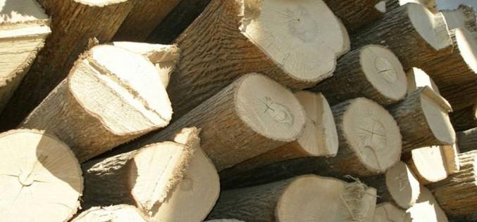 как выглядит древесина липы