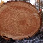 Особенности и практические свойства древесины лиственницы