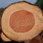 Виды сосны, их описание, а также характеристики древесины