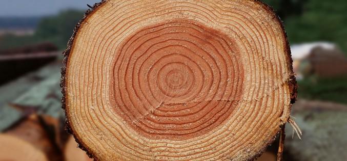как выглядит древесина сосны