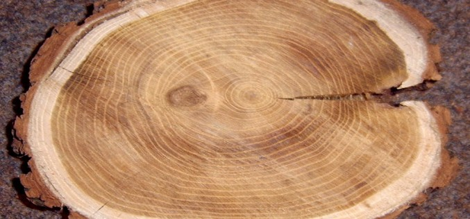 как выглядит древесина ясеня
