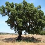как выглядит пробковый дуб