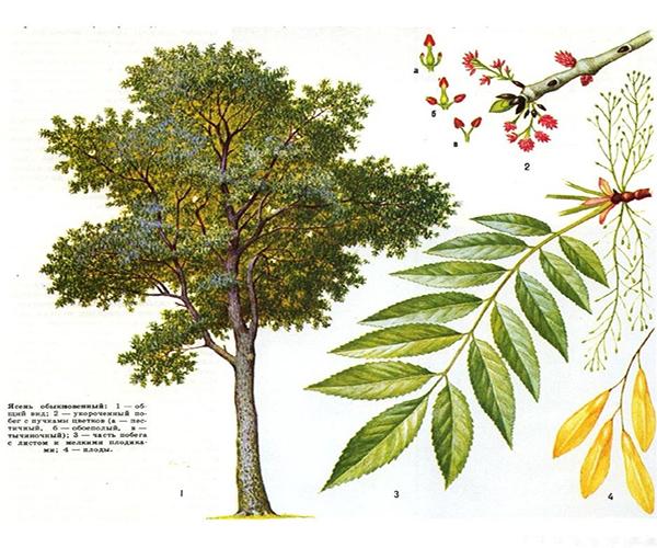 описание дерева ясеня